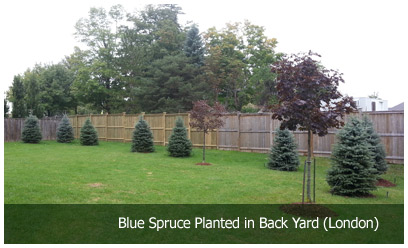 Blue Spruce planted in Back Yard (London)