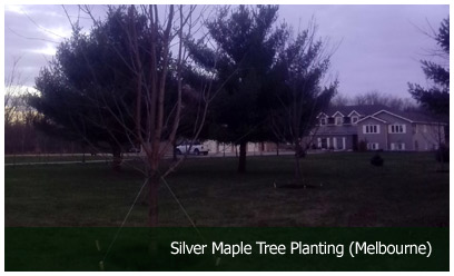 Silver Maple Tree Planting (Melbourne)